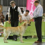 LABRADOR MALE CHAMPION-CARPENNY MADE THE DAY- M ONKELINX